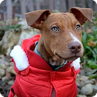 Pittsburgh Pa Pit Bull Terrier Meet Tuco Salamanca A Pet For
