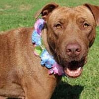 Shar Pei/Labrador Retriever Mix Dog for adoption in Vancouver, Washington - Lady