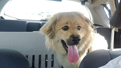 Edmonton Ab Chow Chow Meet Laila A Pet For Adoption