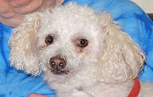 Spokane Wa Poodle Miniature Meet Miles A Pet For Adoption