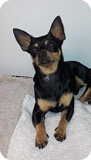 Pinecrest Fl Miniature Pinscher Meet Chloe A Pet For