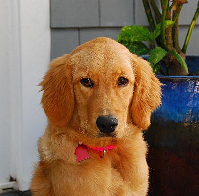 Torrance Ca Golden Retriever Meet Ruby A Pet For Adoption