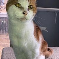 Adopt A Pet :: Dawson - fantastic lap cat! - El Cajon, CA