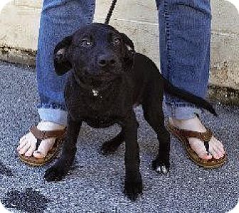 Labrador Retriever Mix Dog for adoption in Laingsburg, Michigan - Bruiser