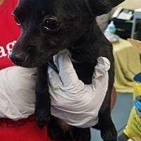 Adopt A Pet :: Patrice - Willows, CA