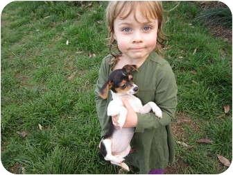 Chihuahua Meet Pocket Beagle