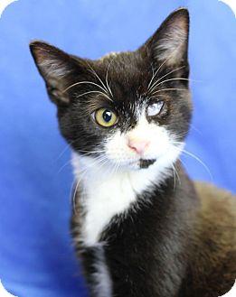 Domestic Shorthair Kitten for adoption in Winston-Salem, North Carolina - Feisty