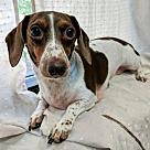 Adopt A Pet :: June Bug