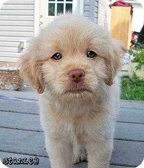 Brighton Mi Shih Tzu Meet Stanley Adoption Pending A Pet For