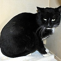 Domestic Shorthair Cat for adoption in Pryor, Oklahoma - Scat Cat