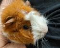 Adopt a Pet :: Bubba - Boulder, CO -  Guinea Pig