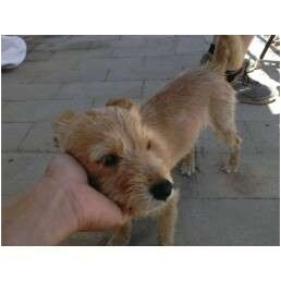 Ramona, CA - Wirehaired Fox Terrier. Meet Whiskers a Dog for Adoption.