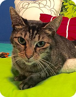 Domestic Shorthair Cat for adoption in Mount Pleasant, South Carolina - Tic Tac