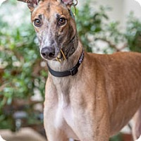 Greyhound Dog for adoption in Walnut Creek, California - Streak