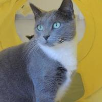 Domestic Shorthair/Domestic Shorthair Mix Cat for adoption in Conway, New Hampshire - Dahlia