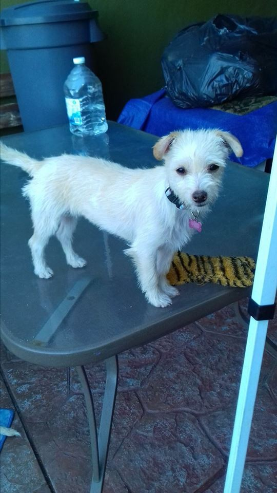 San Diego, CA - Westie, West Highland White Terrier. Meet Cici a Dog ...