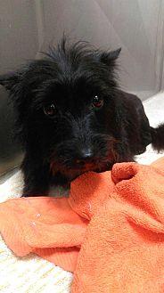 Adopt A Pet :: Alli  - Renton, WA