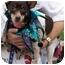 Photo 2 - Miniature Pinscher/Rat Terrier Mix Dog for adoption in Portsmouth, Rhode Island - Cookie