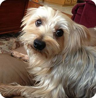 Yorkie Mix With Terrier