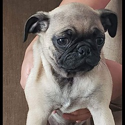 Pug Puppies for Sale in San Diego California - Adoptapet com