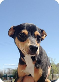Pompton Lakes Nj Terrier Unknown Type Medium Meet Rat Terrier