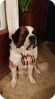 St. Bernard Dog for adoption in Woodstock, Virginia - Semi