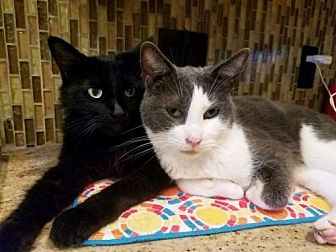 Domestic Longhair Cat for adoption in Chino Hills, California - Pebbles