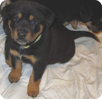 Smithfield Nc Rottweiler Meet Knight A Pet For Adoption