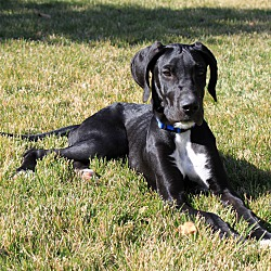 Great Dane Puppies In Frederick