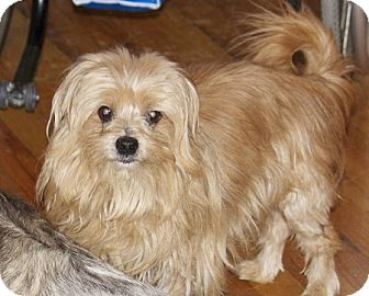 Portland Or Yorkie Yorkshire Terrier Meet Larry A Pet For Adoption