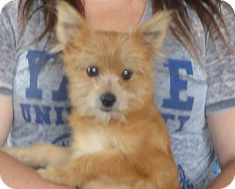 Westport, CT - Pomeranian  Meet Paul a Pet for Adoption