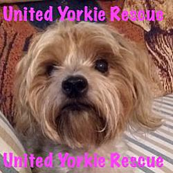 United Yorkie Rescue Fl Jacksonville Linda In Jacksonville