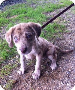 Catahoula Lab Mix Puppies For