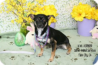 Manchester Terrier Mix Dog for adoption in Yuba City, California - 03/19 Unnamed