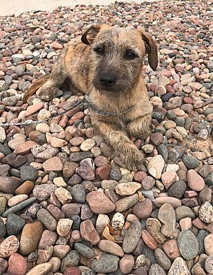 Chandler, AZ - Dachshund  Meet Tiger a Pet for Adoption