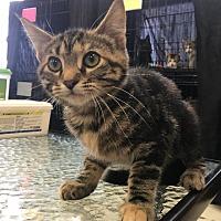 Adopt A Pet :: Timber - Saint Robert, MO