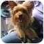 Photo 3 - Yorkie, Yorkshire Terrier Dog for adoption in Conroe, Texas - Bailey