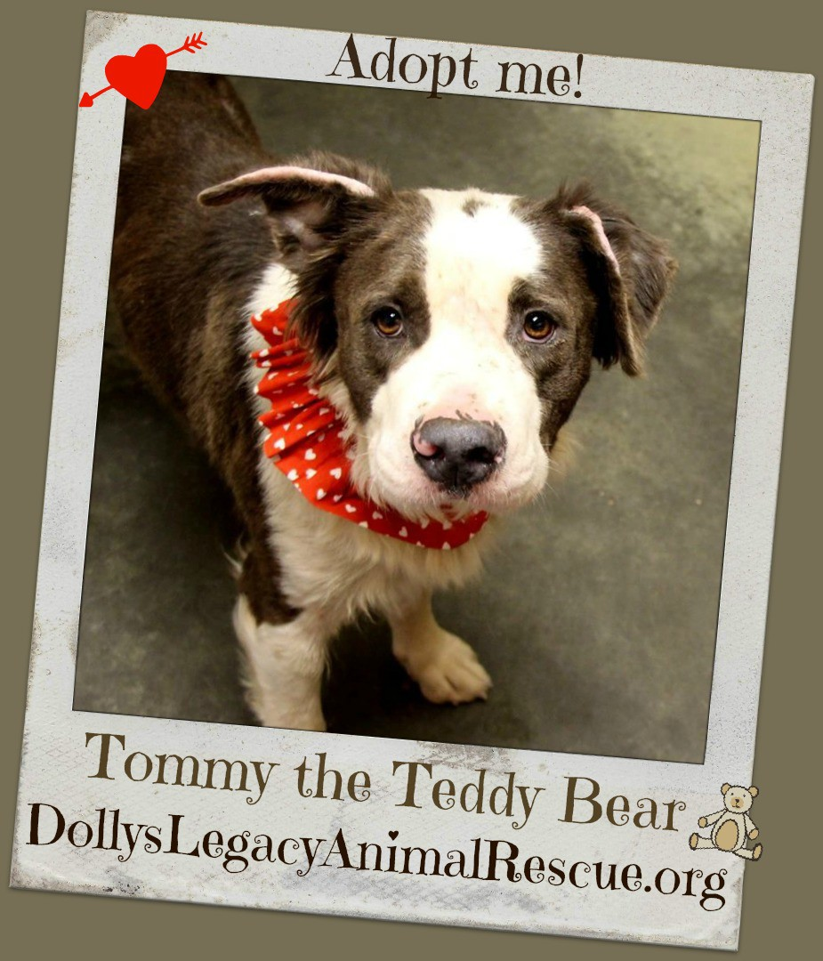 Lincoln Ne St Bernard Meet Tommy The Teddy Bear A Pet