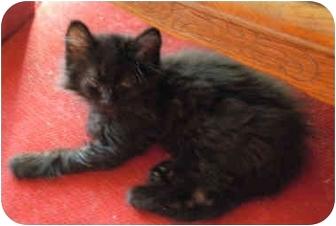 Domestic Longhair Kitten for adoption in Lexington, Missouri - Dasher