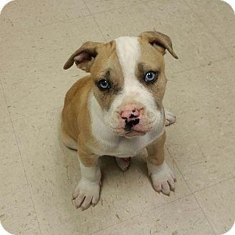 American Bulldog Mixed With Pitbull Puppies