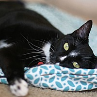 Adopt A Pet :: Exotic BINDI - Studio City, CA