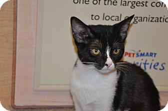 Domestic Shorthair Kitten for adoption in Foothill Ranch, California - Gabby