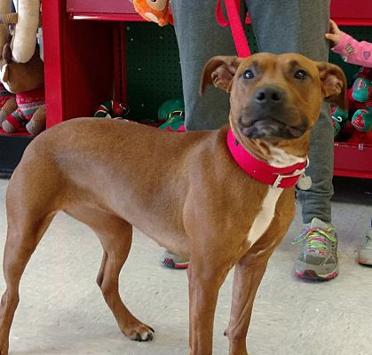 Toledo Oh Boxer Meet Ruby A Pet For Adoption