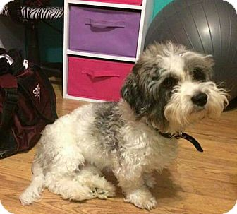 Shih Tzu Mix Dog for adoption in Frankfort, Illinois - Buttons
