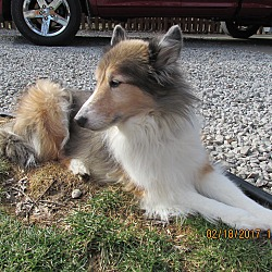 Heart S Promise Sheltie Rescue In New Castle Pennsylvania
