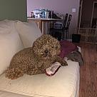 Adopt A Pet :: Beau