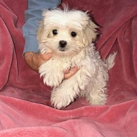 Maltese Puppies for Sale in New Hampshire - Adoptapet com