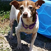 Chihuahua Dog for adoption in Fort Myers, Florida - Shortbread
