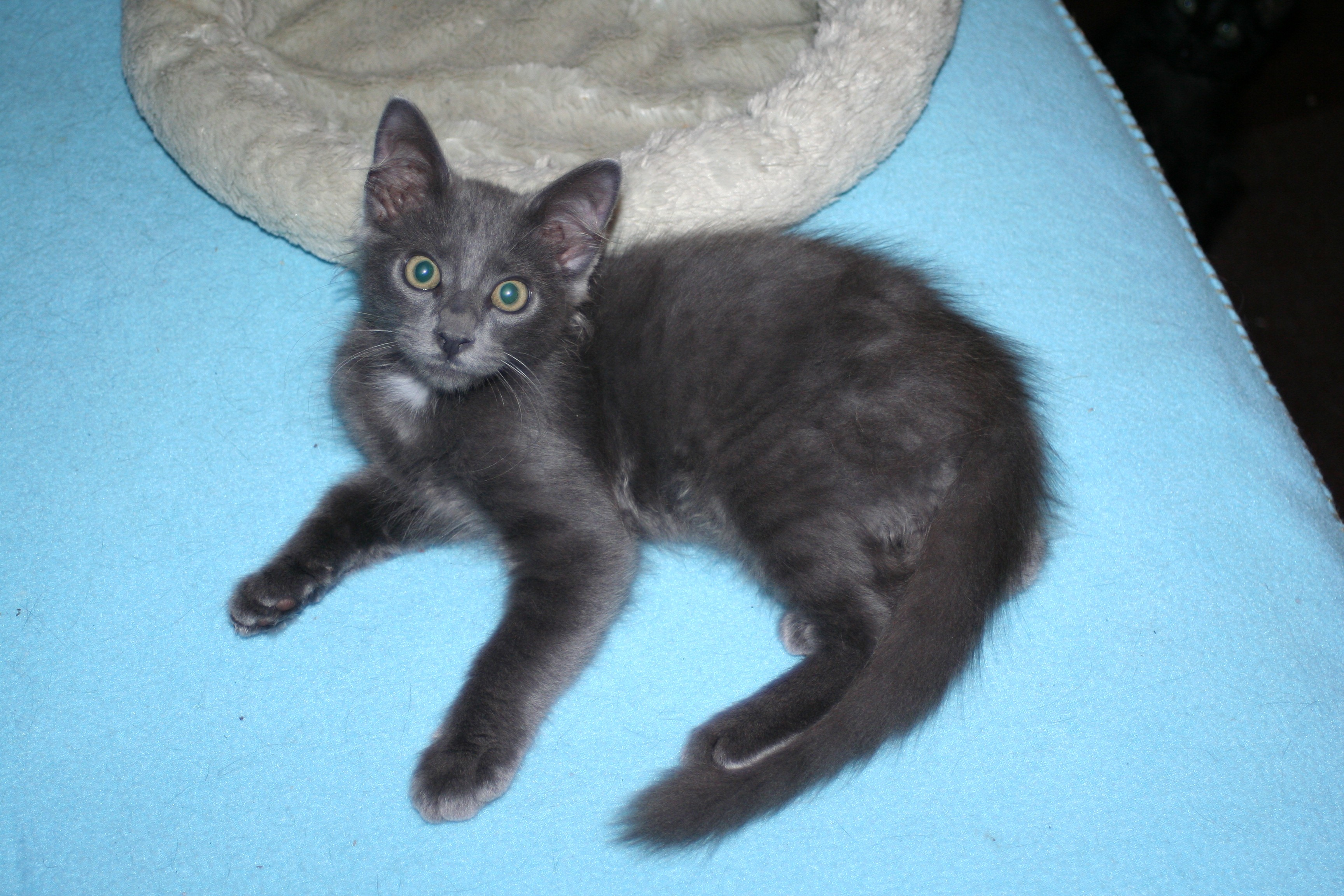 Russian Blue Kitten Adoption Seattle Cats & Kittens