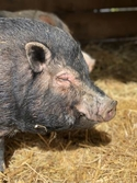 Adopt a Pet :: Charles - Novelty, OH -  Pig (Potbellied)/Pig (Potbellied) Mix